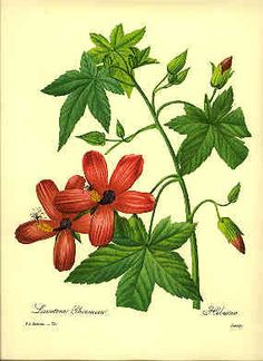 Redoute Botanical Print Hibiscus 72 by BritmoreCottage on Etsy