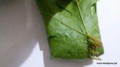 Yaprak Konservesi Nasıl Yapılır | Kendi Mutfağında Şef Parsley, Herbs, Food, Meal, Eten, Herb, Meals, Spice