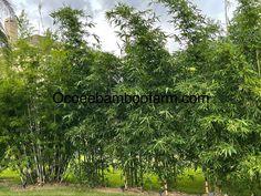 Juno Beach, Hallandale Beach, City Beach, Royal Palm Beach, West Palm Beach, Pompano Beach, Delray Beach, Bamboo Plants For Sale, Ocoee Florida