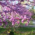 Cercis canadensis tree seed should be started in the winter for spring sowing. This beautiful specimen tree is heat tolerant and relatively small , perfect for backyard landscapes. Growing Seeds, Growing Tree, Kentucky Coffee Tree, Golden Chain Tree, Katsura Tree, Pine Seeds, Judas Tree, Kalmia Latifolia, Plum Seed