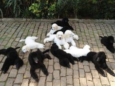 Poodles everywhere!!! is this enough???