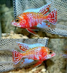 Aulonocara SP. (Hybrid) OB Peacock Cichlid Strawberry OB