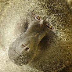 semplice.Lo sguardo di un babbuino allo zoo di Gelsenkirchen, Germania