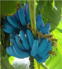 Rare Rainbow Banana Bonsai frutas Mixed Organic Fruits Banana Tree plants Home Garden for winter garden decoration Banana Plants, Fruit Plants, Fruit Garden, Fruit Trees, Blue Banana, Banana Ice Cream, Musa Banana, Unusual Plants, Rare Plants