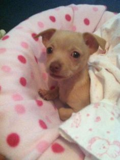 Lucy the Chiweenie <3