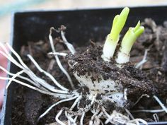 12 Vegetables You Didn't Know You Could Eat and Grow Again Growing Vegetables, Fruits And Veggies, Household Plants, Home Vegetable Garden, Garden Yard Ideas, Fruit Plants, Replant, Grow Your Own Food, Indoor Plants