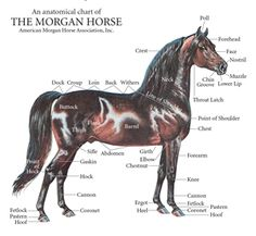 American Morgan Horse Association  Conformation is the degree of perfection of the component parts and their relationship to each other. The head should be expressive with broad forehead; large prominent eyes; with straight or slightly dished short face; firm fine lips; large nostrils and well-rounded jowls. The ears should be short and shapely, set rather wide apart and carried alertly. Mares may have a slightly longer ear. -