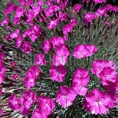 image de Dianthus gratianopolitanus Firewitch Blossoms, Planting Flowers, Awesome, Photos, Image, Gardens, Flower Colors, Rock Shower, Plants