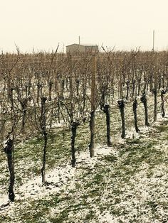 #Peace #mood  #Fantinel #FeelTheEmotion #vineyards #winery #estate #country #italy #friuli #snow #wintertime #march #white #wine #winelover
