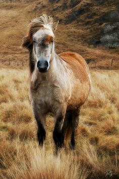 Icelandic horse, from Southern Iceland - I am not quite sure what color he is, but could be a grey with a blood-mark on his face.