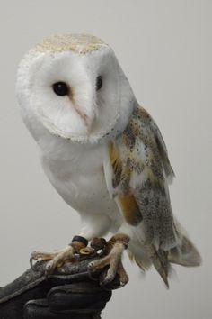 Owl - Barn Owl Pictures, Raptors, Barn, Animals, Animaux, Owl Photos, Animal, Animales, Barns