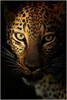 Gorgeous leopard in the spotlight, by Expedition Leader & Wildlife Photographer, Marius Coetzee based in Durban, South Africa. He is also a Co-Founder of Oryx – Worldwide Photographic Expeditions