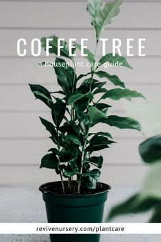 They won't produce coffee beans indoors, but these plants are the very same plants you get your favorite brew from! Learn how to keep your coffee plant alive Indoor Garden, Indoor Plants, Dorm Plants, Coffea Arabica, Coffee Plant, House Plant Care, Cafetiere, Tree Care, Garden Care