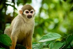 The Golden Squirrel Monkey exhibit is one of the most interesting exhibit in the Singapore River Safari. Description from flickr.com. I searched for this on bing.com/images