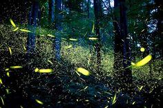 Photo_These creatures are bioluminescent beetles so have specialised light - emitting organs and are known as lighting - bugs. This magical photograph uses long - exposure to capture their estonishig beauty.  《Questa creature sono coleotteri bioluminescenti così hanno chiaro specializzata -che emmettono organi e sono conosciuti come illuminazione-bug.Questo fotografia magico utilizza a lungo-l'esposizione per catturare la loro bellazza estonishig.》#fireflies #italiantranslation