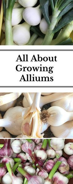 Learn what onions, leeks, shallots, garlic and chives have in common to help accelerate your gardening knowledge!