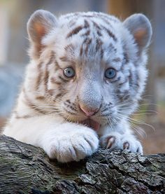White tiger baby. (White tigers are neither albino's nor unique. They are typically Bengal tigers which express a recessive dilution gene.)