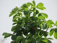 Orchard oriole nest by BruceStambaugh