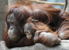 In this photo provided by the Chicago Zoological Society, Sophia, a 27-year-old orangutan, and her unnamed 6-month-old baby female enjoy the day at the Brookfield Zoo in Brookfield, Ill., on Thursday, April 9, 2009.