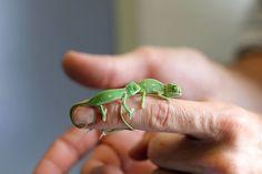 オーストラリア、シドニーのタロンガ動物園で、カメレオンの赤ちゃんが20匹誕生しました。 その可愛らしい姿を映した写真が早速公開されています。 赤ちゃんの体長はまだ5cmほどですが、成長して約30cmになるのだとか