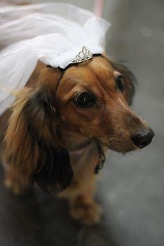 doxie bride