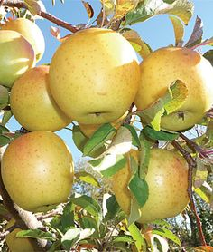 Also some Apple trees in the yard. Crimson Crisp Apple Tree - Fruit Trees, Home Gardening at Burpee.com