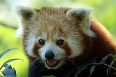 The seriously adorable red panda may not be as famous as the black and white giant panda, but this little guy has definitely cornered the market on cute. With