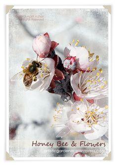 Honey Bee on my Flavor Delight Aprium fruit tree blooms