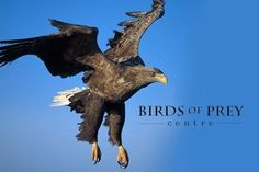 Three Hour Falconry and Clay Pigeon Shooting Experience for at Birds of Prey Centre Off) Raptor Bird Of Prey, Birds Of Prey, Shooting Club, Clay Pigeon Shooting, White Tailed Eagle, Photography Day, Different Birds, Small Birds, Bird Species