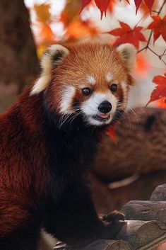 Source:imgfave-chat - my misty morrning Red Panda Cute, Panda Love, Super Cute Animals, Cute Baby Animals, Nature Animals, Animals And Pets, Mon Zoo, Cute Animal Pictures, Cute Creatures