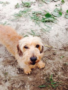 Wire haired dachshund in the sand