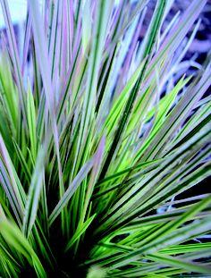 Tufted Hairgrass   Deschampsia caespitosa