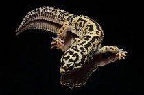 Leopardgecko 'Texas' Lavender & Tangerine Jungle Bandit het. Striped