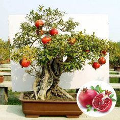 20pcs Pomegranate Evergreen Tree Seeds Garden DIY Deciduous Shrub Potted Plant