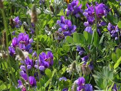 Hrachor (lat. Lathyrus) je vytrvalá květina, u které je známo, že rod má přes 200 druhů, které rostou na celeé severní polokouli, dále pak v jižní Africe a Jižní Americe. Jen některé z nich se však využívají jako okrasné rostliny. Nejznámnější je jednoletý hrachor pnoucí vonný.