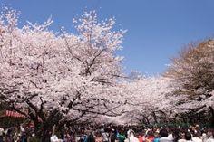 Les japonais pendant le hanami au Japon