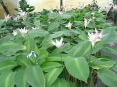 Calathea loesneri-Landscape Plants For South Florida Florida Flowers, Calathea Plant, Spiritual Love, Pink Lotus, Top Soil, Room To Grow, Plant Pictures, Landscaping Plants, Amazing Flowers