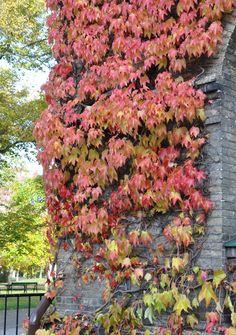"""Rådhusvin, Parthenocissus tricuspidata, är kanske den elegantaste arten och den som man ofta ser på lite finare byggnader. I USA kallas arten """"Boston ivy"""" vilket antyder att den är vanlig på många fina universitetsbyggnader där. Som det vetenskapliga namnet anger har bladen tre spetsar, de är dock inte delade ända in utan handflikiga, ungefär som lönnblad."""