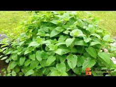 Parsley, Pesto, Herbs, Food, Youtube, Gardening, Essen, Lawn And Garden, Herb