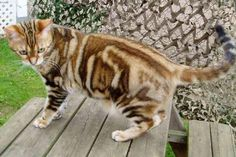 American Wirehair - InfoVeto