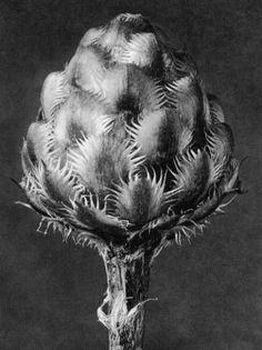 Karl Blossfeldt, Centaurea Grecesina, Knapweed, capitulum