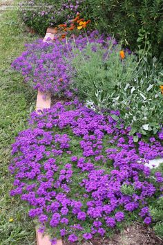 Verbena canadensis: groundcover; perennial; Light needs: Full sun; Reaches 6 - 12 in. tall; spreading 24 - 36 in. wide.; Growth habit: Spreading Flower attributes: Long Bloom Season; Blooms: Late spring through summer