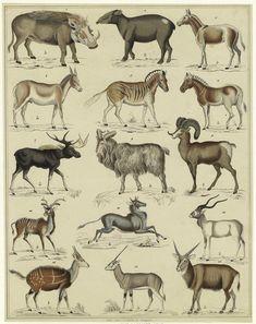 Hooved animals, Allgemeine Naturgeschichte für alle Stände. (Stuttgart : Hoffmann, 1833-1841) Oken, Lorenz (1779-1851)