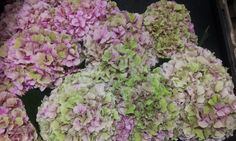 #Hydrangea #Hortensia #VendettaClassic;  Available at www.barendsen.nl