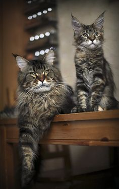 So sweet! Brown tabby Maine Coon