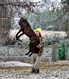 Scandifio's Mondo di Pirate's Den catching air.  All Cane Corso should be able to move like this.