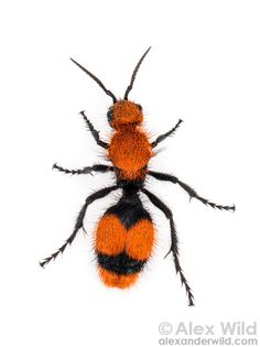 Dasymutilla occidentalis - red velvet ant. This insect is not a true ant but a wingless wasp that parasitizes other species of soil-nesting ...