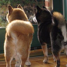 Shiba butts..hehe Japanese Dog Breeds, Japanese Dogs, Shiba Inu Black, Animals And Pets, Cute Animals, Hachiko, Most Beautiful Dogs, Animal Tracks, Mini Dogs