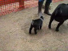 Two Newborn Pygmy Goats Do a Happy Dance