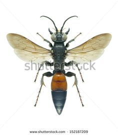 Wasp Larra anathema anathema (female) on a white background - stock photo